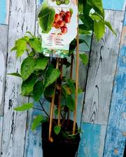 Actinidia arguta 'Kens Red; Kiwi Vine. Unusual Red Fruit Variety xxl large 2 litre pot