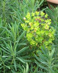 A photo of Mediterranean Spurge