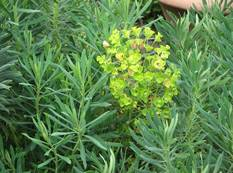 A green Euphorbia characias subsp. Wulfenii plant with yellow flowers in a garden