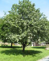 A photo of Whitebeam