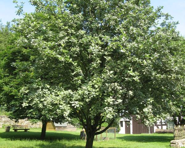 A picture of a Whitebeam