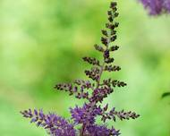 A photo of Astilbe