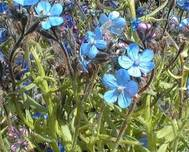 A photo of Alkanet
