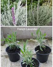 French Lavender 1 ltr pot