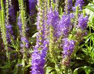 A photo of Spiked Speedwell