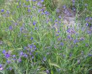 Some blue Anchusa azurea flowers growing in the wild