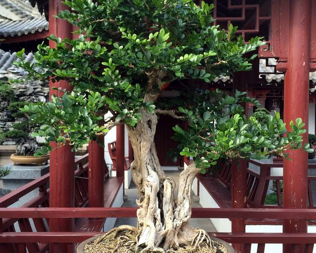 A bonsai Murraya paniculata plant in a pot on a table