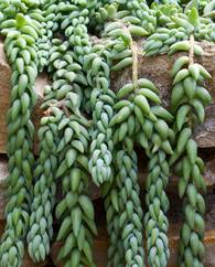 A photo of Burro's Tail