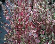 A photo of Spindle 'Emerald Gaiety'