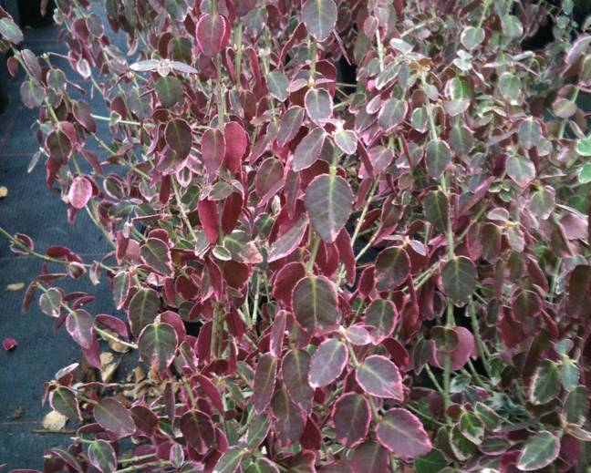 Some red tinged Euonymus fortunei 'Emerald Gaiety' in winter