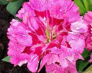 A photo of Dianthus 'Garden Pinks'