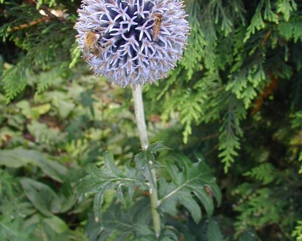 A picture of a Small Globe Thistle