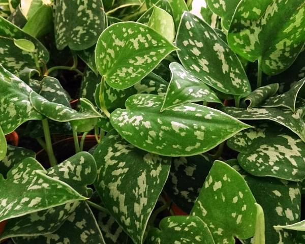 A picture of a Pothos