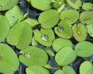 A photo of Salvinia