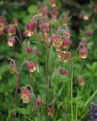 A photo of Water Avens