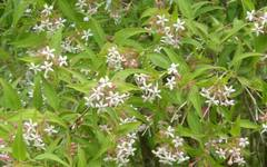A photo of Abelia Triflora