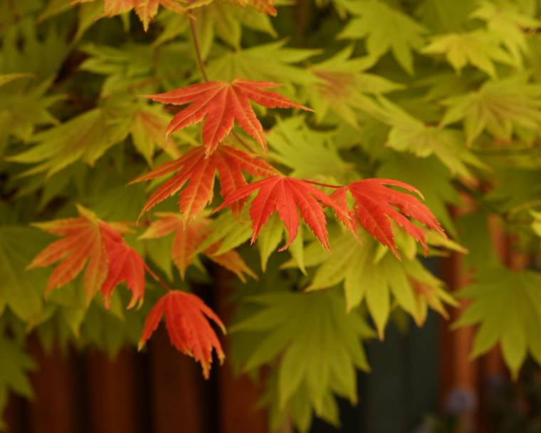 A Japanese maple