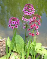 A photo of Candelabra Primula