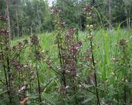 A photo of Marsh Lousewort