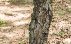A photo of Fungal Canker