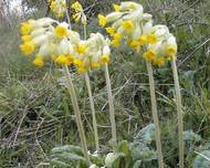 A photo of Cowslip