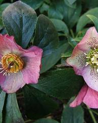 A photo of Hellebore