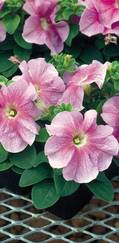 A photo of Petunia 'Express'