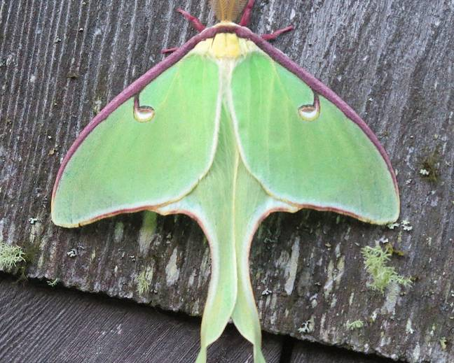 A luna moth on a piece of wood