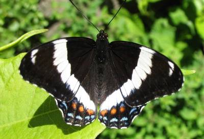 white admiral butterfly on a leaf