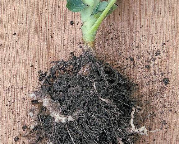A Cauliflower plant infected with Clubroot Plasmodiophora brassicae