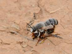 A close up of two copulating bees belonging to Megachile genus