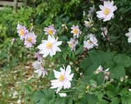 A photo of Japanese Anemone