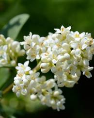 A photo of Common Privet