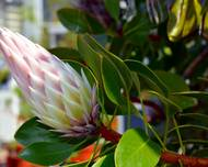 A photo of King Protea