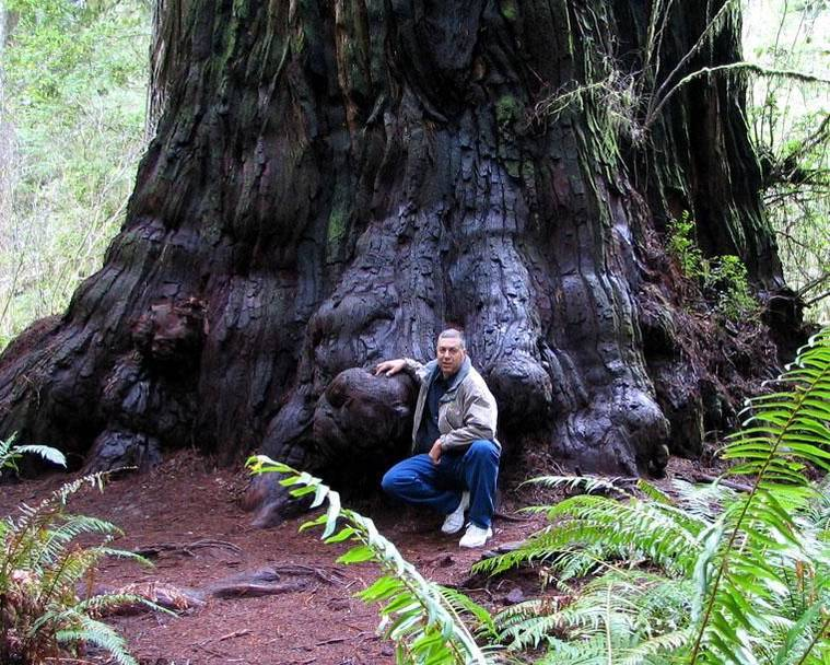 A man sitting in front of a large coast redwood (Sequoia sempervirens), one of the tallest trees in the world, in California