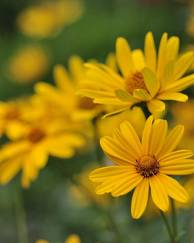 A photo of Heliopsis