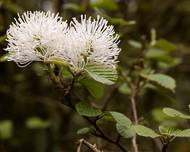 Fothergilla major (Witch alder)