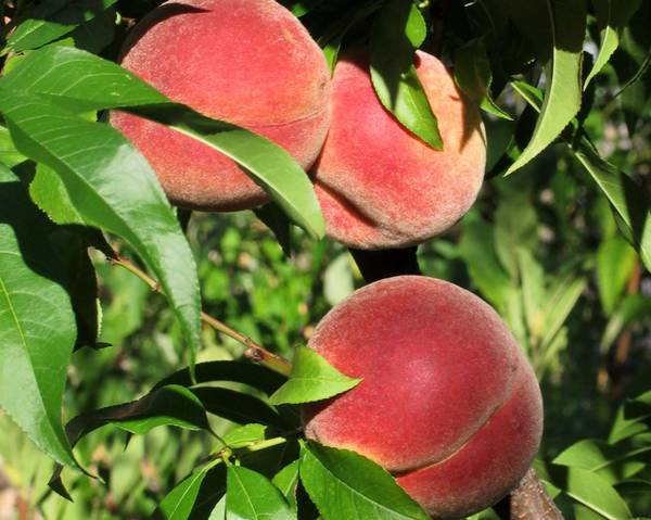 A picture of a Nectarine 'Autumn Grand'