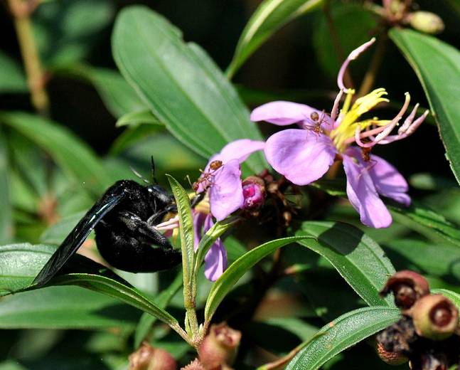 A close up of a carpenter bee from the genus Xylocopa on a purple flower