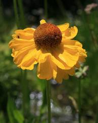 A photo of Sneezeweed
