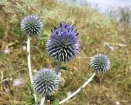 A photo of Ruthenian Globe Thistle
