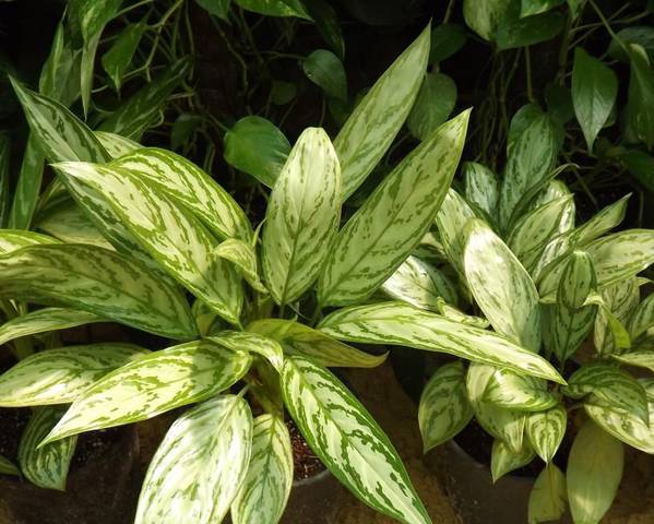 A picture of a Chinese Evergreen