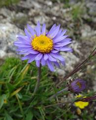 A photo of Alpine Aster 'Abendschein'