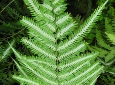 A close up of a green and white Pteris argyraea fern plant