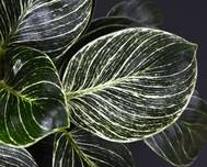 A photo of Philodendron Birkin