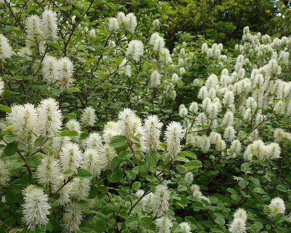 A picture of a Fothergilla