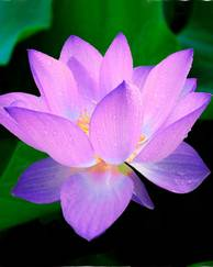 A photo of Egyptian Water Lily