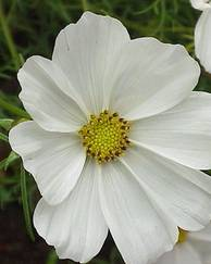 A photo of Cosmos 'Purity'