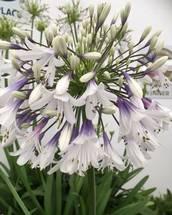 NEW Agapanthus 'Fireworks' Plug Plant X3 Very Hardy. National Collection Holders