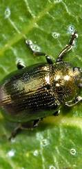 A photo of Blue Willow Beetle